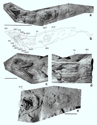 Hóa thạch loài Ferromirum oukherbouchi